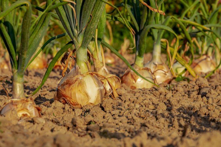 onion-3540502_1280